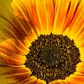 Sunflower by Steffen Gierok
