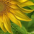 Sunflower by Warrena J Barnerd