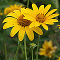 Sunflowers by Ernie Echols