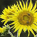 Sunflowers by Fran Gallogly
