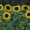 Sunflowers by Wendy Raatz Photography