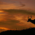 Sunset Buck by Eric Albright
