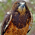 Swainson's Hawk by Ed  Riche