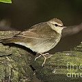 Swainsons Warbler by Anthony Mercieca
