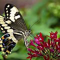 Swallowtail Butterfly  by Saija  Lehtonen