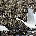Swan by Lori Tordsen