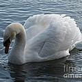 Swan by Val Carosella
