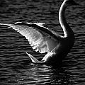 Swan Wingspan by Gaurav Singh