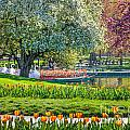Swans And Tulips by Susan Cole Kelly