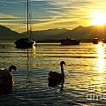 Swans In Sunset by Mats Silvan