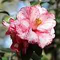 Sweet Camellia by Carol Groenen