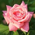 Sweet Pink Rose by Carol Groenen