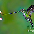 Sword-billed Hummingbird by Anthony Mercieca