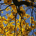 Tabebuia Tree Blossoms by Denise Mazzocco