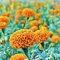 Tagetes Erecta / Aztec Marigold Flower by Image World