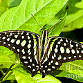 Tailed Jay Butterfly by Millard H. Sharp