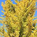 Tall Ginkgo Tree by Lee Serenethos