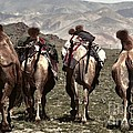 Working Camels by Karla Weber