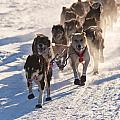 Team Of Sleigh Dogs Pulling by Stephan Pietzko
