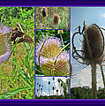 Teasel Thistle - Dipsacus Fullonum by Mother Nature