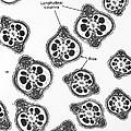 Tem Of Chinese Hamster Spermatozoa by David M. Phillips