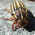 Ten Lined June Beetle by Cheryl Hoyle