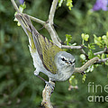 Tennessee Warbler by Anthony Mercieca