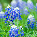 Texas Bluebonnets by Rospotte Photography