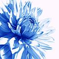 The Blue Dahlia Flower by Jennie Marie Schell