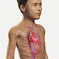 The Cardiovascular System Pre-adolescent by Science Picture Co
