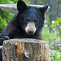 The Cub That Came For Lunch 3 by Matt Swinden