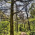The Forest Path by David Pyatt