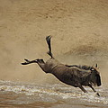 The Great Migration- Wildebeest Crossing  by Lauren Armstrong