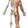 The Human Skeleton And Muscular System by Stocktrek Images