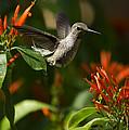 The Hummingbird Hover  by Saija  Lehtonen
