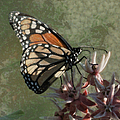 The Monarch Painterly by Ernie Echols