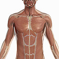 The Muscles Of The Torso by Science Picture Co