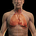 The Respiratory And Cardiovascular by Science Picture Co