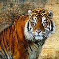 The Tiger by Steve McKinzie