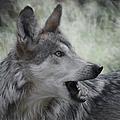 The Wolf 4 by Ernie Echols