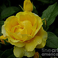 Yellow  Rose Of Summer by James C Thomas