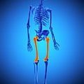 Thigh Bones by Sebastian Kaulitzki/science Photo Library