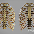 Thoracic Cage by Science Picture Co