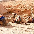 Three Camels by Roy Pedersen