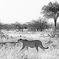 Three Cheetahs At Mashatu by Max Waugh