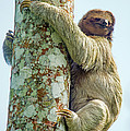 Three-toed Sloth Bradypus Tridactylus by Panoramic Images