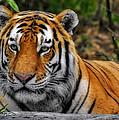 Tiger by Bill Dodsworth
