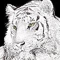 Tiger by Bill Richards