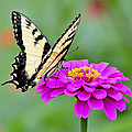 Tiger Swallowtail Butterfly On Zinnia by A Gurmankin