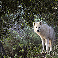 Timber Wolf by Angel Ciesniarska